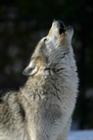 argentwolf's avatar