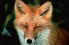 Lady_Foxface's avatar