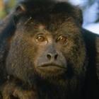 howlingmonkey's avatar