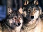 WolfPack1524's avatar