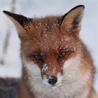 Juran_Fox's avatar