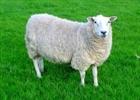 Disco_Sheep's avatar