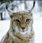 JaguarLynx's avatar