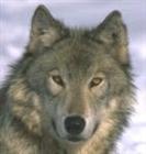 Wolf_Of_Night7964's avatar