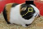 Sir_Guinea_Pig's avatar