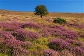 1512-Withypool-Common-Heather-Moorland-Wild Flowers