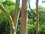 220px-Eucalyptus_deglupta-trees