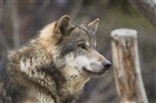 Einsamen_Wolf's avatar